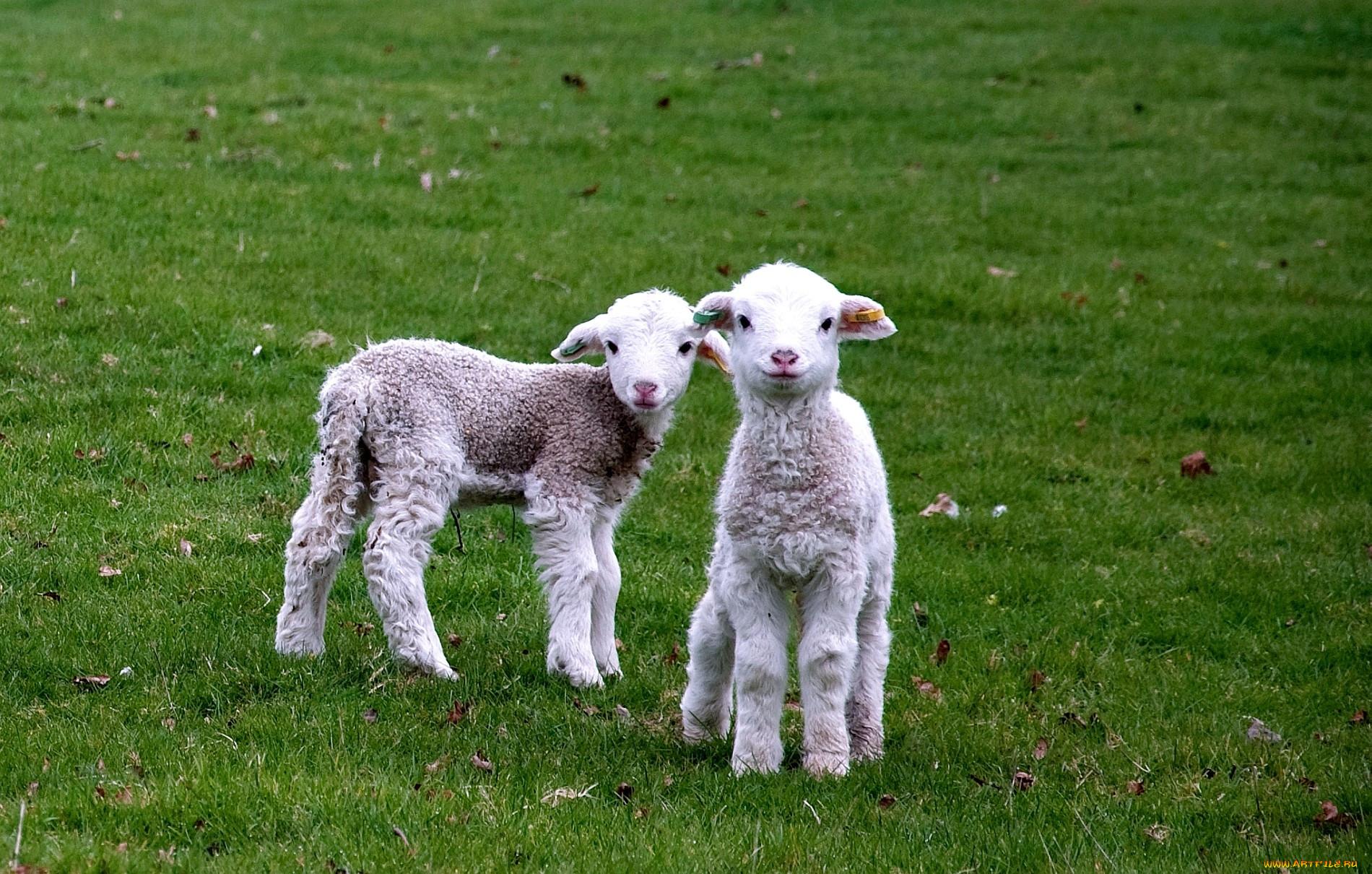 Картинки овца с ягнятами для детей